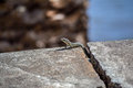 Lizard on the rock madeira portugal summer Stock Images