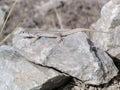 Lizard on a rock santorin greece Stock Photos