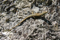 Lizard on a rock small brown walking vertically Royalty Free Stock Image
