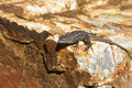 Lizard on rock small sunning at a local park Royalty Free Stock Photo
