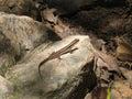 Lizard on Rock in Sun Royalty Free Stock Photography