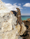 Lizard with sea background Royalty Free Stock Photo