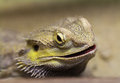 Lizard with spikes head closeup Royalty Free Stock Image
