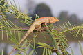 Lizard staying mimosa tree Royalty Free Stock Photography
