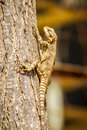 Lizard - Stellagama stellio, fauna of Israel Royalty Free Stock Photo