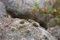 Lizard Sticks His Head Above A...