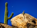 Lizard sunning on rock with saguaro and moon in desert southwest Royalty Free Stock Photography