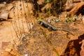 Lizard Sunning On Rock