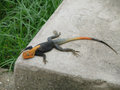 Lizard taking sun bath a little rest and recuperation african tropics in ivory coast in the city of abidjan Stock Photo