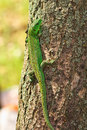 Lizard on the tree green sitting a bark Stock Images
