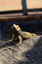Lizard Warming Up On a Rock in the Sun Royalty Free Stock Photo