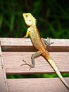 Lizard on a wooden chair Royalty Free Stock Photo