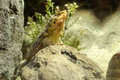 Lizard in the zoo Royalty Free Stock Photo