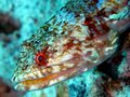 Lizardfish Stock Photography