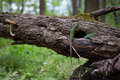 Lizards in nature sitting on a tree Stock Photography
