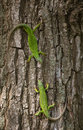 LizardS in nature. Royalty Free Stock Photo