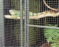 Lizzie the Friendly Green Iguana Resting on a Branch Royalty Free Stock Photo