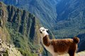 Llama above macchu picchu photo of a peruvian overlooking Royalty Free Stock Photo