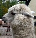 Llama, Alpaca, Camel Like Mammal, Fur