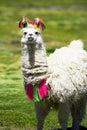 Llama, Bolivia Stock Images