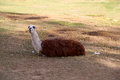 Llama brown and white laying in the grass relaxing Stock Photography