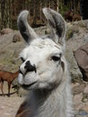 Llama close-up Stock Photography