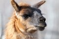 Llama closeup lama glama portrait at animal park Royalty Free Stock Images