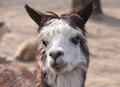 Llama closeup portrait cute lama animal in profile Royalty Free Stock Photography