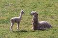 Llama and cub in cusco peru a mother a Stock Photos