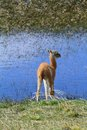 Llama cub standing front water lake patagonia south america Royalty Free Stock Photo