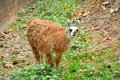 The llama is a domesticated south american camelid widely used as a meat and pack animal by andean cultures since pre hispanic Royalty Free Stock Images