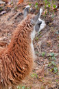 The llama is a domesticated south american camelid widely used as a meat and pack animal by andean cultures since pre hispanic Royalty Free Stock Photos