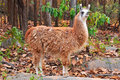 The llama is a domesticated south american camelid widely used as a meat and pack animal by andean cultures since pre hispanic Royalty Free Stock Image