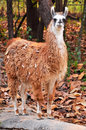 The llama is a domesticated south american camelid widely used as a meat and pack animal by andean cultures since pre hispanic Stock Photography