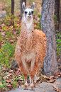 The llama is a domesticated south american camelid widely used as a meat and pack animal by andean cultures since pre hispanic Stock Photo