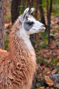 The llama is a domesticated south american camelid widely used as a meat and pack animal by andean cultures since pre hispanic Stock Photos