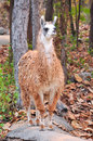 The llama is a domesticated south american camelid widely used as a meat and pack animal by andean cultures since pre hispanic Stock Images