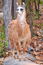 The llama is a domesticated south american camelid widely used as a meat and pack animal by andean cultures since pre hispanic Royalty Free Stock Photo