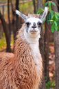 The llama is a domesticated south american camelid widely used as a meat and pack animal by andean cultures since pre hispanic Stock Image