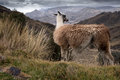 Llama the is a domesticated south american camelid widely used as a meat and pack animal by andean cultures since pre hispanic Stock Photo