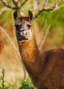 Llama eating and staring, blurry nature background Royalty Free Stock Images