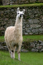 Llama at he Famous Machu Picchu Royalty Free Stock Image
