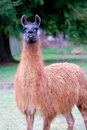 Llama in Field Stock Photo