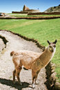 Llama in front of Ingapirca ruins Royalty Free Stock Photo