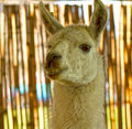 Llama head Royalty Free Stock Photo