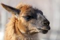 Llama head closeup of portrait of domesticated animal Royalty Free Stock Images
