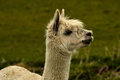 Llama head and neck of a against out of focus grass background Stock Photography