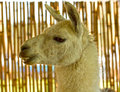 Llama head, side view Royalty Free Stock Photo
