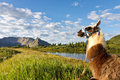 Llama at Idyllic Mountain Lake Stock Photography