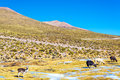 Llama landscape andean in bolivia with four llamas in the foreground near uyuni Royalty Free Stock Photography